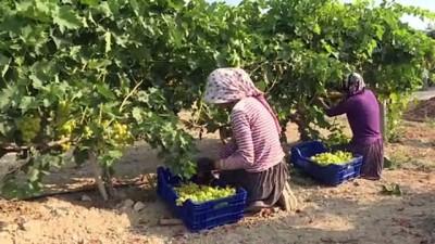 tarim - MERSİN - Hasadına başlanan erkenci üzüm, verimiyle üreticiyi sevindirdi