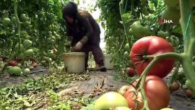 tarim -  Karadeniz'in sebze üssü Amasya'da domates hasadı başladı