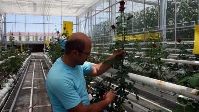 KIRŞEHİR - Topraksız kesme gül yetiştiriciliğinde ceviz ve fındık kabukları kullanılıyor