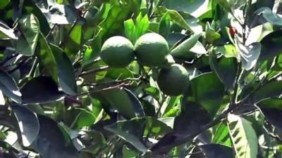 yumurta -  Bir tanesi bile ihracatı durdurabiliyor... Narenciyenin kabusu 'Akdeniz meyve sineği' geri döndü Videosu