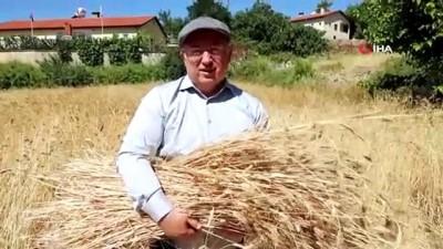 yerli tohum -  Menteşe'de 'Karakılçık' hasadı başladı