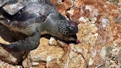 ANTALYA - Acısu Plajı'nda ölü caretta caretta bulundu
