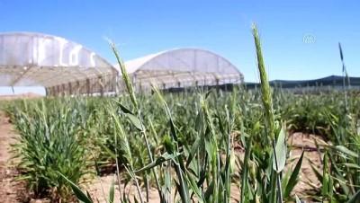 KONYA -ÜRETİMDEN İHRACATA TARIM - Kuraklığa dayanıklı tahıllar çiftçinin yüzünü güldürüyor