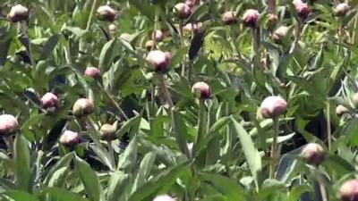 soguk hava deposu - YOZGAT - Bozkıra uyum sağlayan şakayık çiçekleri üreticisinin yüzünü güldürüyor Videosu