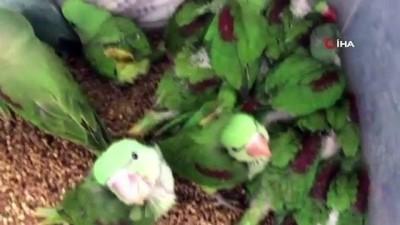 tahkikat -  İstanbul'da kanatlı hayvan operasyonu: 38 İskender papağanı kurtarıldı