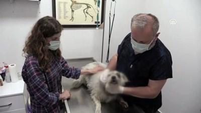 naat - ZONGULDAK - Bir köpek kaybolduktan 5 gün sonra yaralı halde bulundu