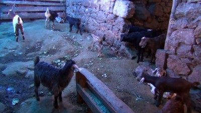 BALIKESİR - Yırtıcı hayvanlardan kaçan karaca yavrusuna, yavrusu ölen keçi annelik ediyor