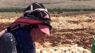 soguk hava deposu - GAZİANTEP - Araban sarımsağında bu yıl 45 bin ton rekolte hedefleniyor Videosu