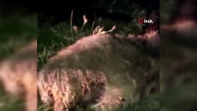 eziler -  Diyarbakır'da dereye atlayan bir koyunu 500 koyun takip etti: 36 koyun telef oldu