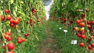 sel baskinlari -  Sel ve su baskınına dayanıklı domates çeşidi geliştiriliyor Videosu