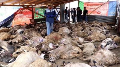 kiz kardes -  Gümüşhane'de ağıla giren kurtlar 103 koyunu telef etti, 43 koyunu yaraladı