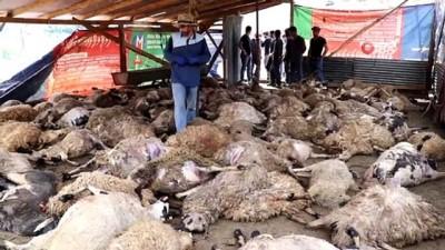 kiz kardes -  Ağıla giren kurtlar 103 koyunu telef etti, 43 koyunu yaraladı