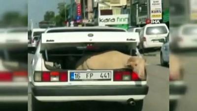 yansima -  Kurbanlık koyunu aracın bagajında böyle taşıdılar