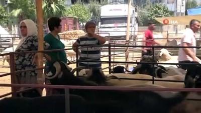keci -  160 kilogramlık Honamlı Keçileri kurban pazarının gözdesi oldu