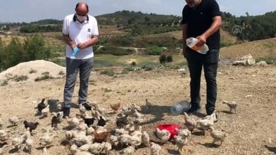 ADANA - Araziye terk edilen yaklaşık 300 civciv korumaya alındı