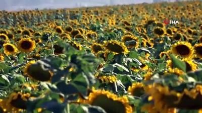 dugun sezonu -  - Muş Ovası sarıya boyandı