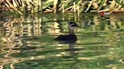 goc -  Erçek Gölü'nün müdavimleri dikkuyruklar Videosu