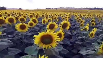SAMSUN - Ayçiçeği tarlaları doğal fotoğraf stüdyosuna dönüştü