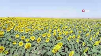 kano -  Gündöndüler Tekirdağ'ı sarıya boyadı Videosu