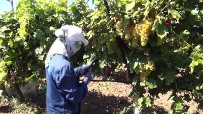 misyon -  Dünyaca ünlü çekirdeksiz Sultani üzümde hasat 5 Ağustos'ta başlıyor Videosu