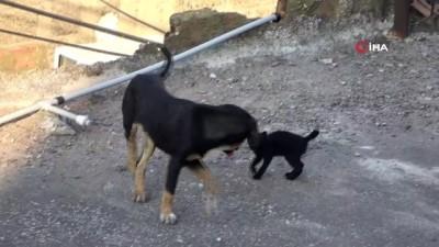 yavru kedi -  Yavru kedi ile köpeğin gülümseten dostluğu