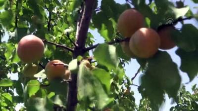 kazanci - AĞRI - Ağrı Dağı eteklerindeki çorak araziyi meyve ağaçlarıyla vahaya dönüştürdü
