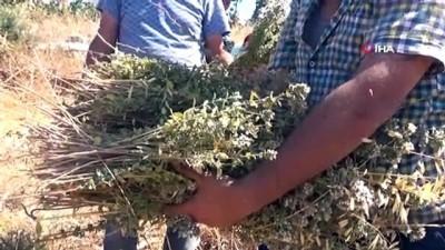 milyar dolar -  Kilis'te Kekik hasadı başladı