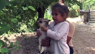 keci -  Ayakları tutmayan yavru yaban keçisini evinde besledi