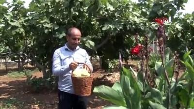 soguk hava deposu -  Tescilli Abbas incirinde hasat dönemi Videosu