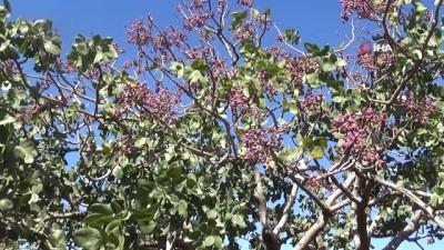 gubre -  Kilis'te Antep fıstığı hasadı başladı