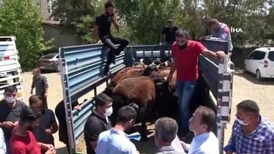 hayvancilik -  Muş'ta çiftçilere devlet destekli koç dağıtımı yapıldı Videosu