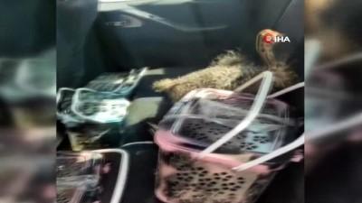 Gümrük Muhafaza ekipleri yavru devekuşlarını kaçakçıların elinden kurtardı