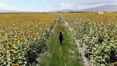 gubre -  Patates tarlaları yerini ayçiçeği tarlalarına bıraktı
