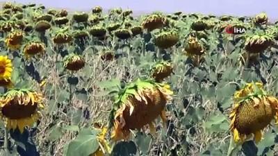 sayilar -  Yerli ve milli ayçiçeği tohumu 2022'de dünya piyasasına çıkıyor