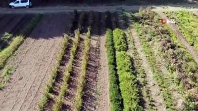 golgeli - -ÖZEL) Yıllık 20 milyon kapasiteyle şifalı ve aromatik bitki üretiyorlar