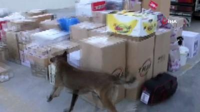 narkotik -  Uşak'ta 6,8 kilo esrar ele geçirildi