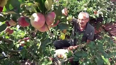 asilama -  Bir ağaçta 6 çeşit elma yetiştirdi