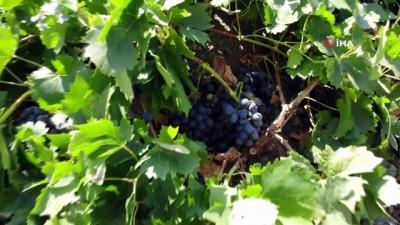 ekonomi -  Tescilli Cimin üzümünde hasat zamanı
