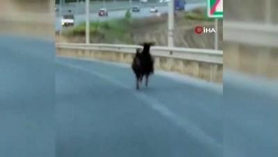 keci -  Otobana çıkan keçi, trafiği alt üst etti