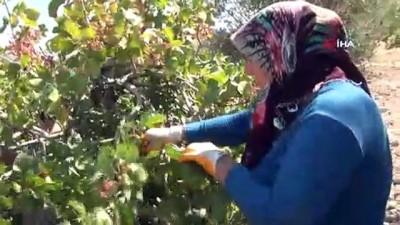 asilama -  Silifke'de Antep fıstığı hasadı coşkusu