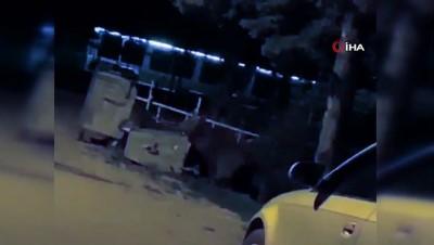 su -  Aç kalan ayılar kamp alanına indi