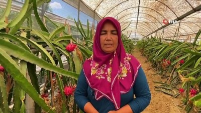 gubre -  Girişimci ev hanımı iki yılda ürettiği ejder meyvesi ile yurt dışına açıldı