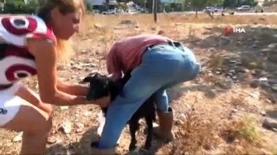 hayvancilik -  Keçilere zehirli incir tuzağı Videosu