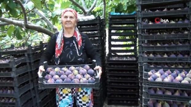 misyon -  Antalya'da 800 rakımlı köyde incir hasadı başladı