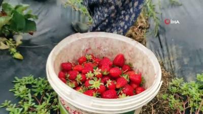 yagmur -  Pamukova'da çilek hasadı