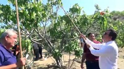 kuraklik -  Protokol, köylülerle incir hasadına katıldı Videosu