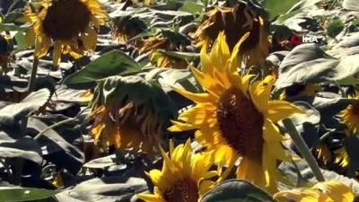 yagmur -  Konya Ovası'nda ayçiçek hasadı zamanı