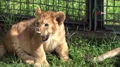 Hayvanat bahçesinin yeni maskotu yavru aslanlar