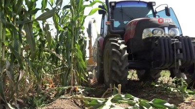 kuraklik -  Muş'ta silajlık mısır hasadına başlandı Videosu