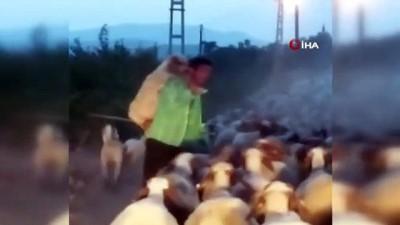 hayvancilik -  Yorulan koyunu ahıra kadar sırtında böyle taşıdı Videosu